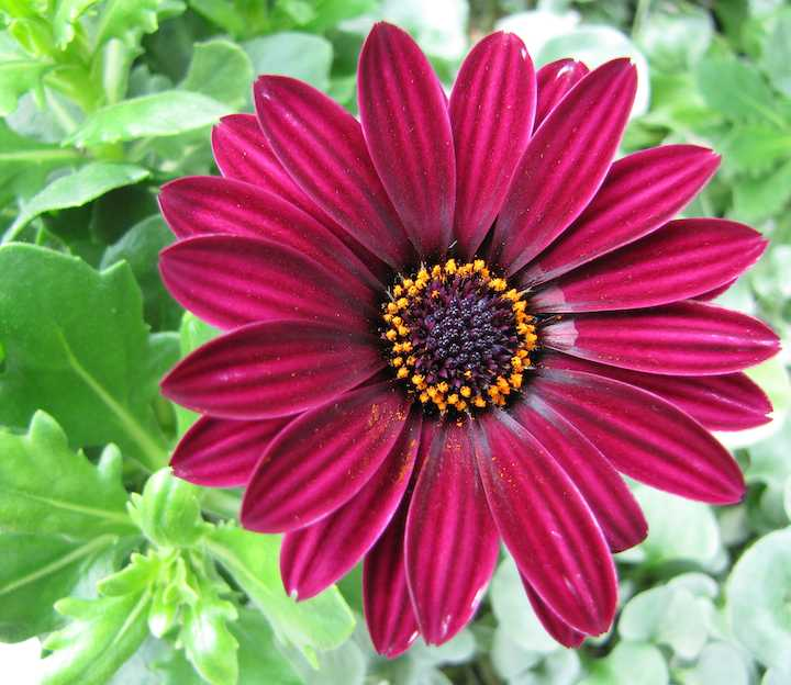 photo of deep redish-purple flower
