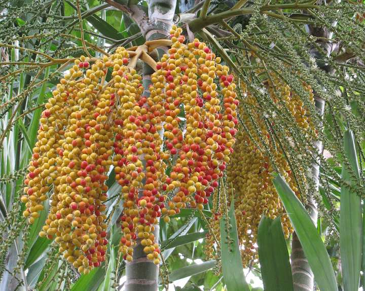 Colorful (palm?) seeds - red and yellow